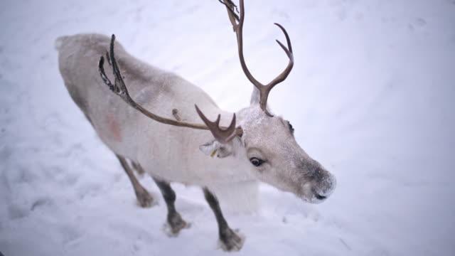 WS Reindeer