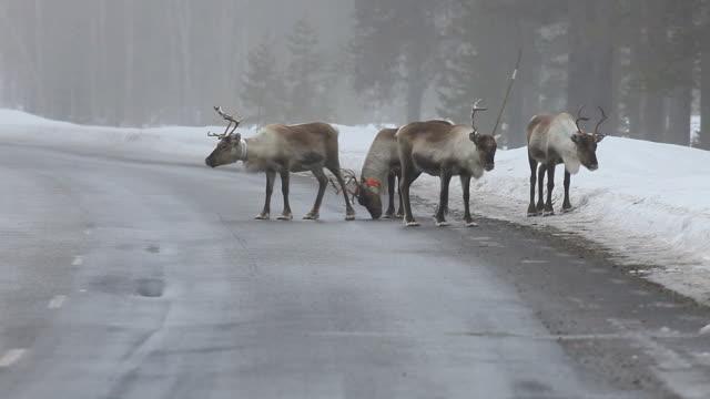stockvideo's en b-roll-footage met reindeer - rendier