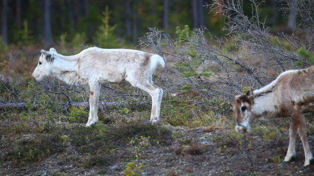 reindeer - norrbotten bildbanksvideor och videomaterial från bakom kulisserna
