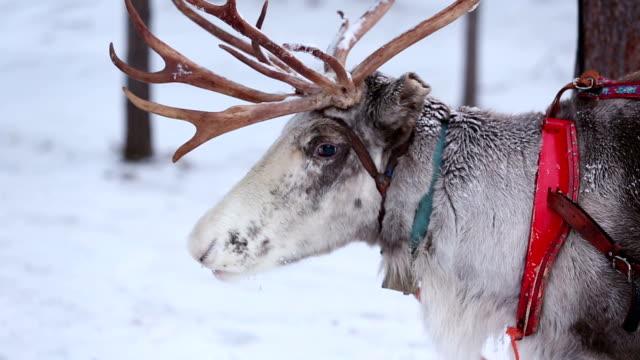 vídeos y material grabado en eventos de stock de reno - reno mamífero
