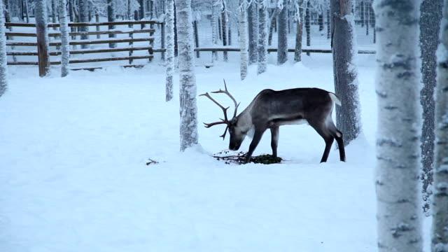 Motif renne - Vidéo