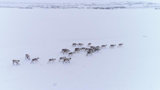ms reindeer walking in snow covered field,iceland - reindeer stock videos and b-roll footage