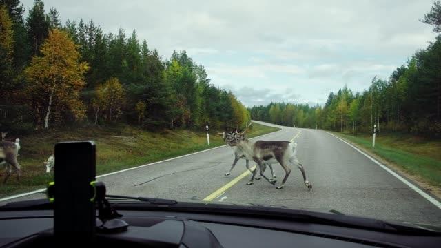 reindeers crossing the road in scandinavia - jeleniowate filmów i materiałów b-roll