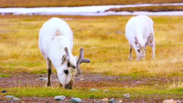 Reindeers eats grass at the plains at Svalbard video