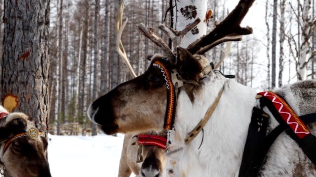 vídeos y material grabado en eventos de stock de reindeers - reno mamífero