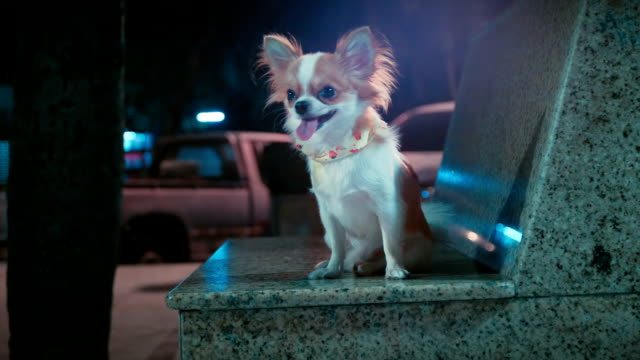 relax chihuahua sitting in the park video
