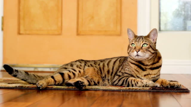 Relaxed Cat Cinemagraph (photo in Motion) Cinemagraph of a Bengal cat lying down on the floor moving his ears and wagging his tail tail stock videos & royalty-free footage