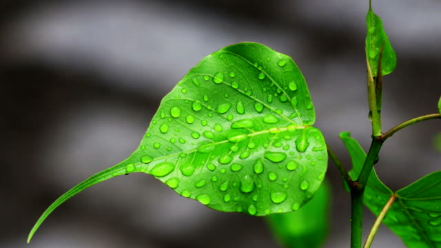 Religious Waterdrops Ficus video