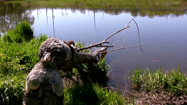 Überreste Baumstamm am Boden nach Bibern Zerkaut durch – Video