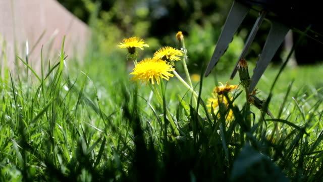 vídeos de stock, filmes e b-roll de remover dente-de-leão de grama - sem cultivo