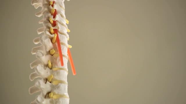 Una réplica de vértebras de la columna vertebral closeup - vídeo