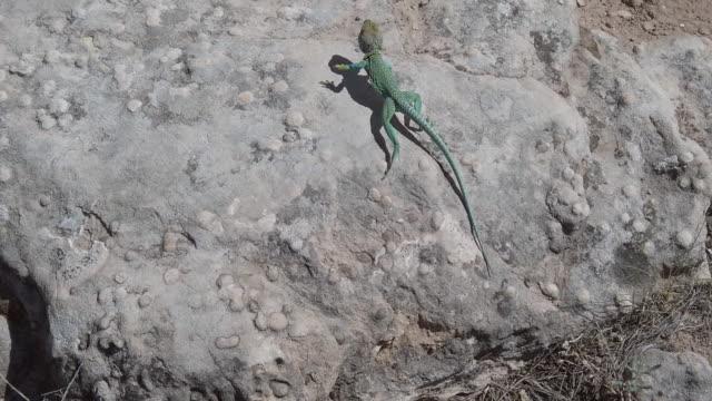 vidéos et rushes de reptile in the wild vibrant colored collared lizard in western colorado desert environment 4k vidéo - reptile