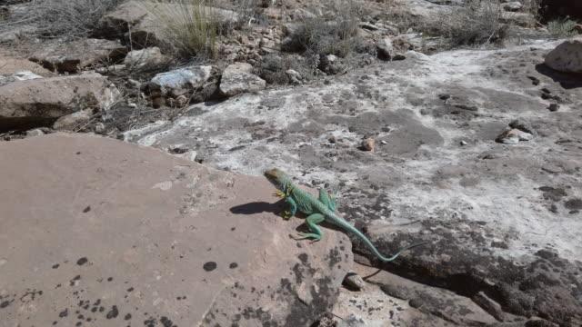 Reptile in the Wild Vibrant Colored Collared Lizard in Western Colorado Desert Environment 4K Video