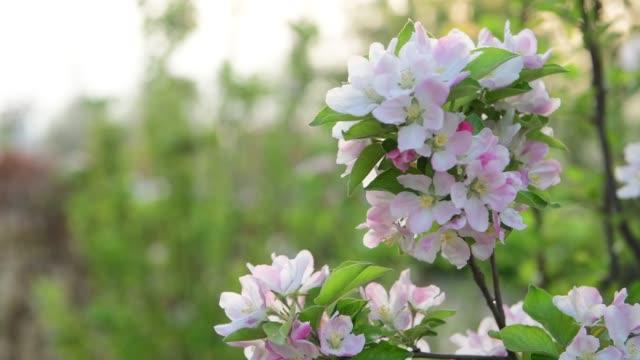 4k upplösning, blommande crabapple träd på våren - äppelblom bildbanksvideor och videomaterial från bakom kulisserna