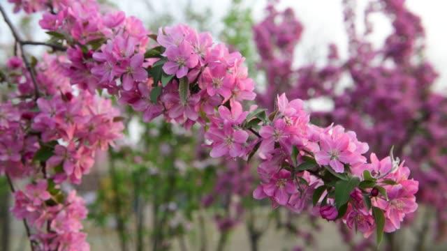 4K Resolution, Flowering Crabapple tree in the spring