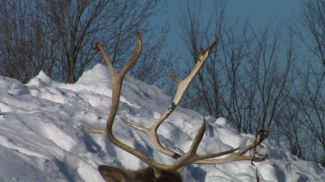 resting caribou - reindeer stock videos and b-roll footage