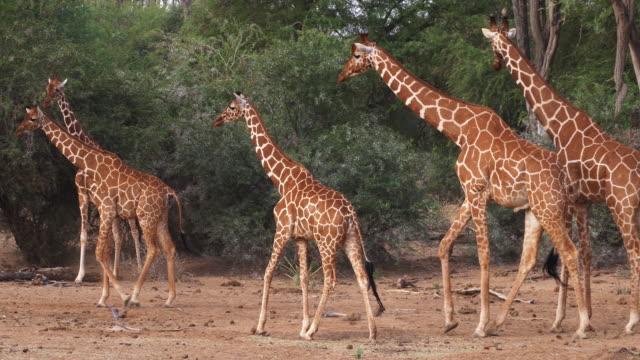 Reticulated Giraffe, giraffa camelopardalis reticulata, Group at Samburu park in Kenya, Real Time 4K