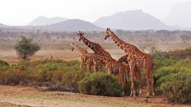 vídeos de stock e filmes b-roll de reticulated giraffe, giraffa camelopardalis reticulata, group at samburu park in kenya, real time 4k - quénia