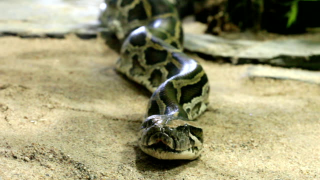 Reticulated python close up, zoom video