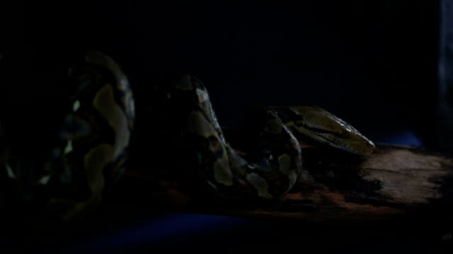 Reticulated python video