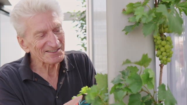 Retired man inspecting leaves of a grape wine in garden