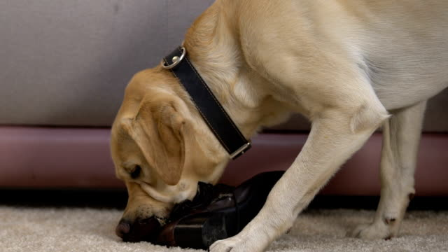 retriever mastica lo stivale a casa danneggiando le scarpe, animale domestico disobbediente attivo - birichinata video stock e b–roll