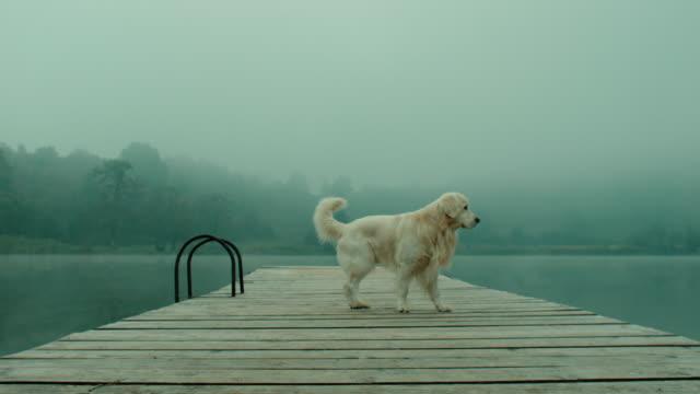 Retriever dog on pier