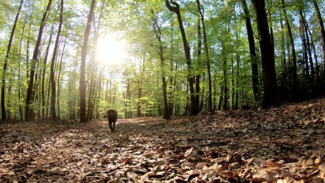 retriever kör i skogen, labrador, naturepark spessart, 4k - hund skog bildbanksvideor och videomaterial från bakom kulisserna