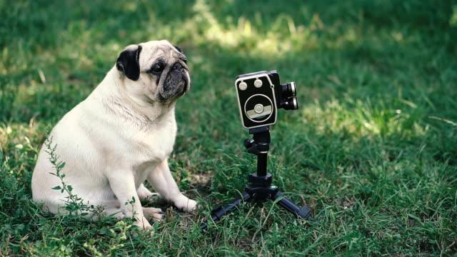 Retro camera. The dog looks at the retro camera. Pug dog breed. Retro camera. The dog looks at the retro camera. Pug dog breed. videos of dogs mating stock videos & royalty-free footage