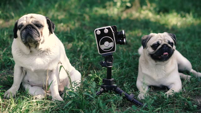 Retro camera. The dogs look at the retro camera. Dog breed Pugs. Retro camera. The dogs look at the retro camera. Dog breed Pugs. videos of dogs mating stock videos & royalty-free footage