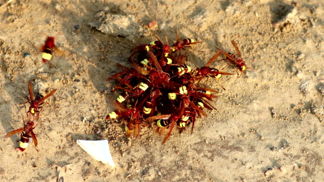 rge gruppe von wespen, zeitraffer - hornisse stock-videos und b-roll-filmmaterial