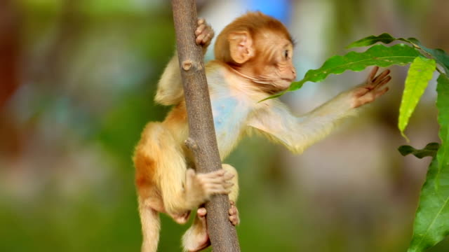 rhesus macaque (macaca mulatta) in slow motion is one of the best-known species of old world monkeys. ranthambore national park sawai madhopur rajasthan india - reso video stock e b–roll