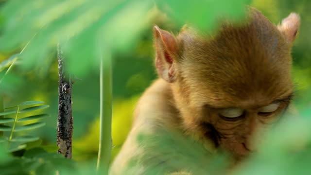 rhesus makak (macaca mulatta) yavaş çekimde eski dünya maymunlarının en iyi bilinen türlerinden biridir. ranthambore ulusal parkı sawai madhopur rajasthan hindistan - makak maymunu stok videoları ve detay görüntü çekimi