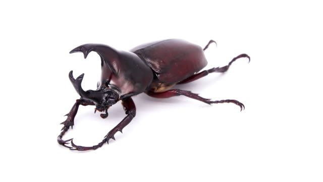 rhino beetle male on white background - жук стоковые видео и кадры b-roll