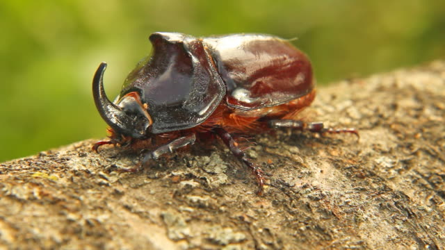 Rhino Beetle video