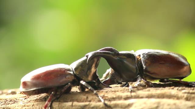 rhino beetle, kämpfen in der natur - käfer stock-videos und b-roll-filmmaterial