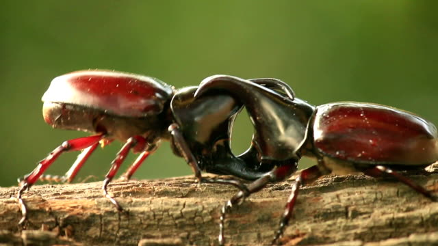 Rhino beetle,Fighting in nature video