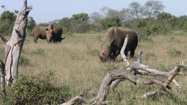 Rhino bull grazing near female rhinos. video