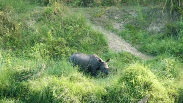 Rhino Eats Green Grass Chitwan National Park In Nepal Stock Video