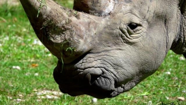 Rhino eats in Slow Motion