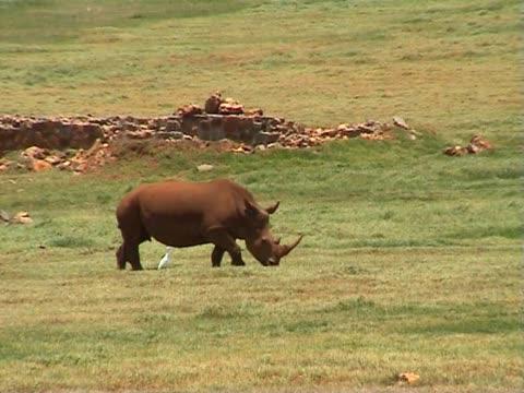 Rhino in a savanna video