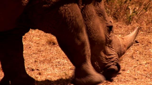 rhino in afrika - großwild stock-videos und b-roll-filmmaterial