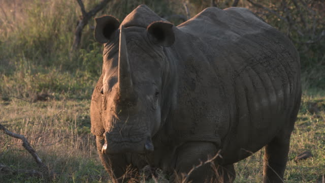 Rhino looks straight ahead and then runs off. video