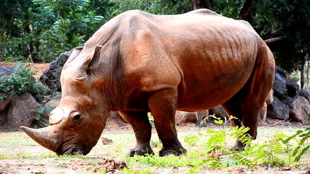 stockvideo's en b-roll-footage met rhino territory - eén dier
