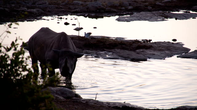 SLO MO Rhinoceros And Birds By The Waterhole video