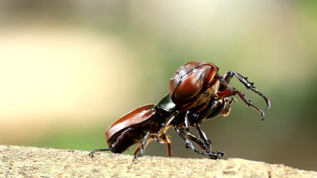Rhinoceros beetle, Rhino beetle,Fighting beetle