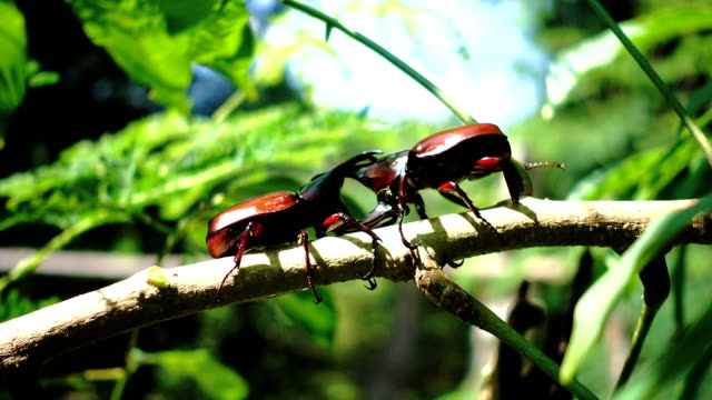 Rhinoceros beetles are Fighting on a twig of trees.