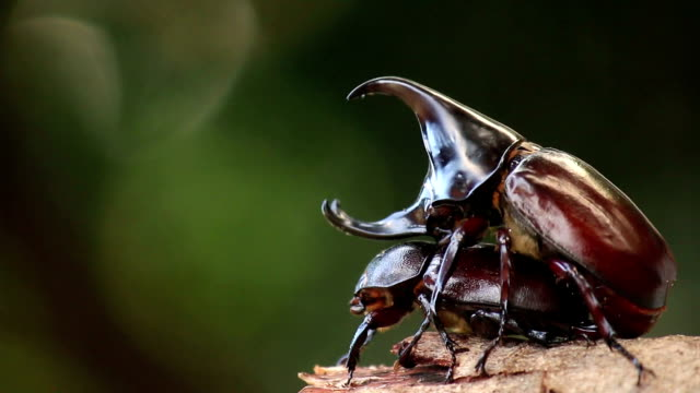 Rhinoceros beetles are mating in nature