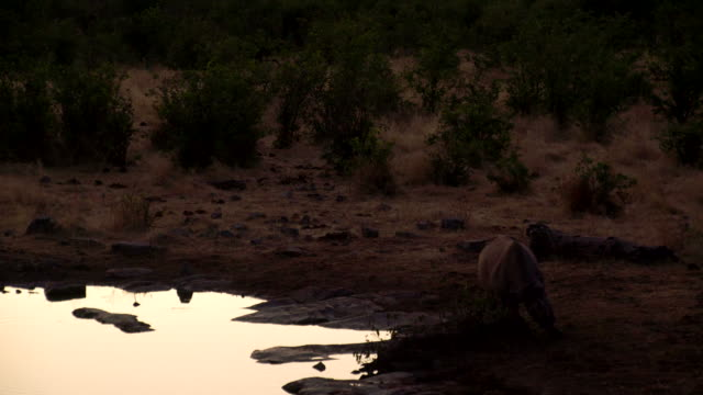 LS Rhinoceros By The Waterhole At Dusk video