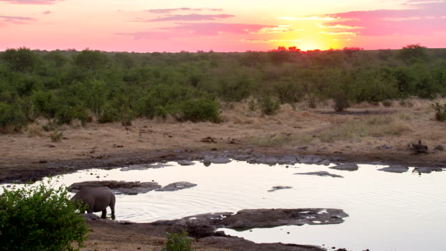 WS Rhinoceros By The Waterhole At Dusk video